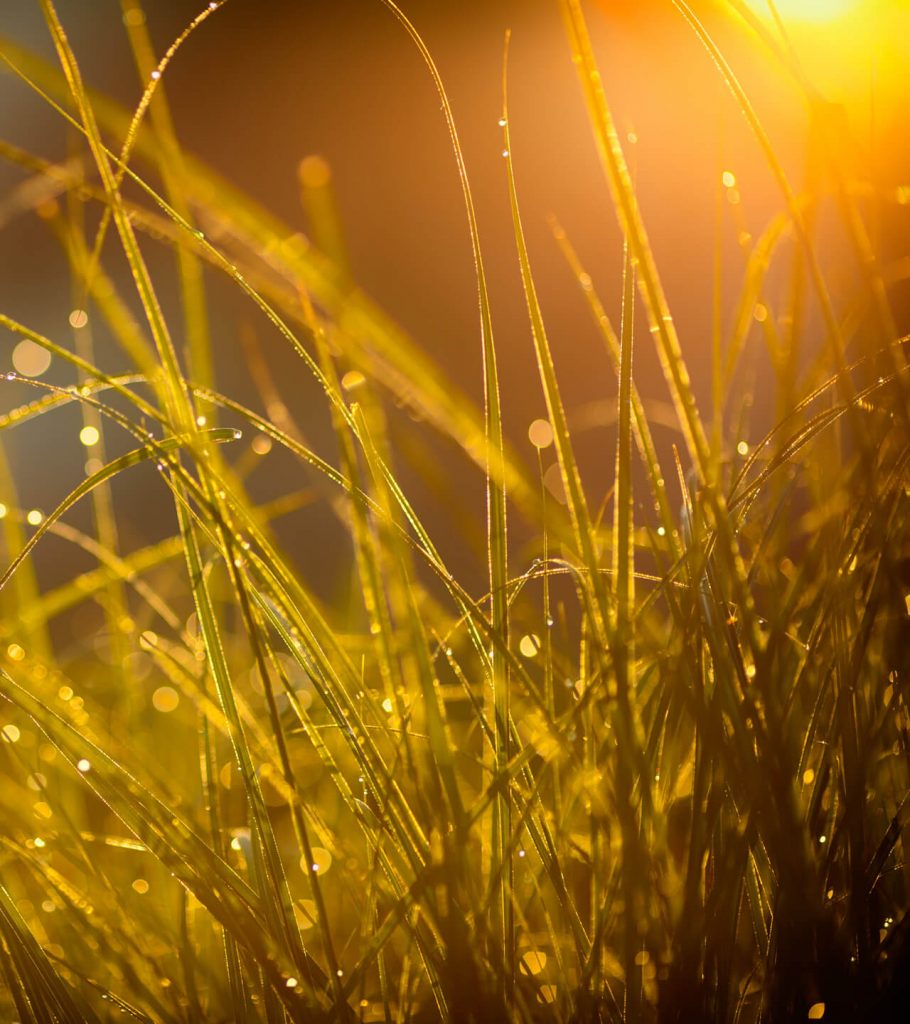 golden grasses