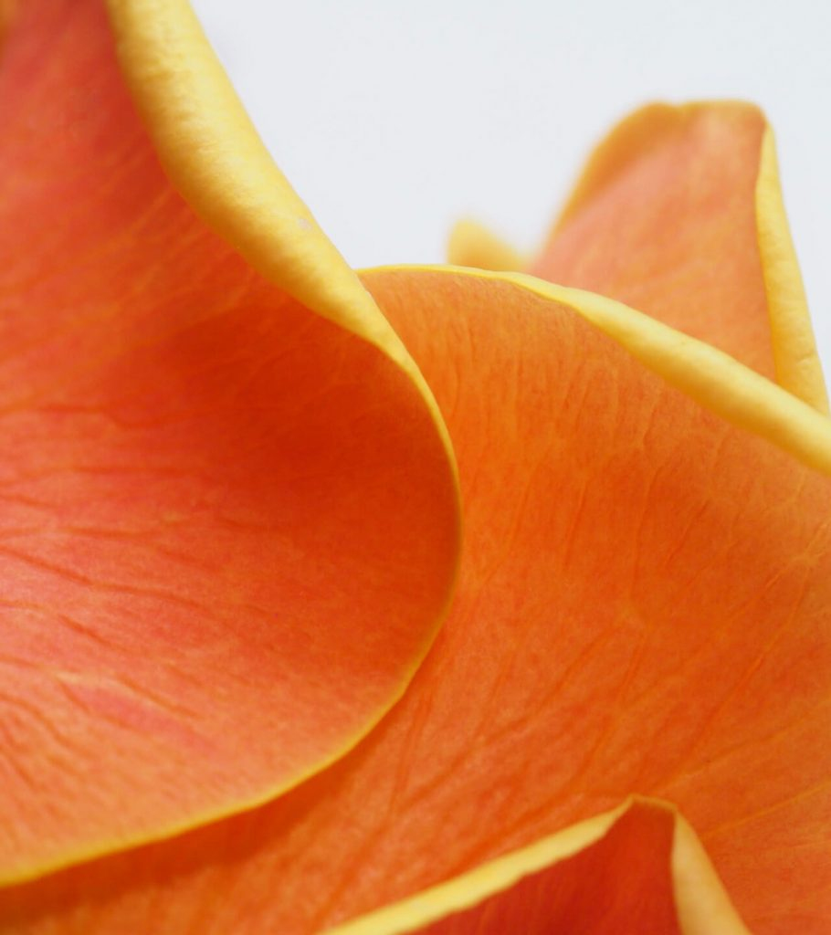 close up of orange rose petals