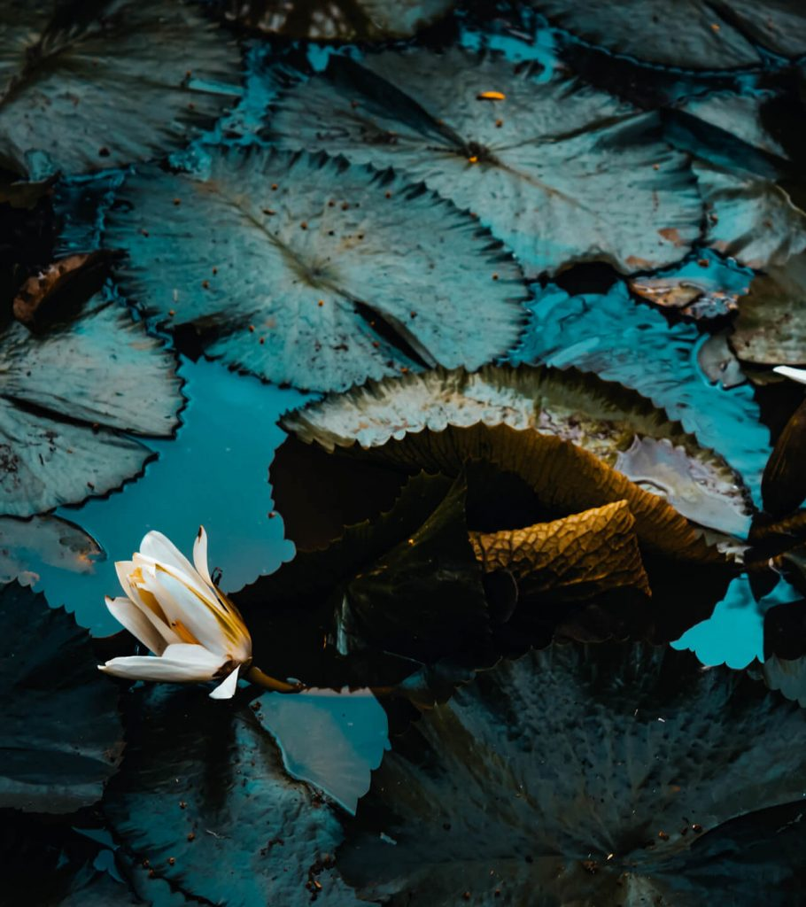 water lily with deep green lilypad leaves in pond